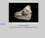 360-degree rotation of a Pig Skull