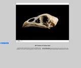360-degree rotation of a Chicken Skull