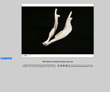 360-degree rotation of a domestic Sheep Lower Jaw