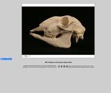 360-degree rotation of a domestic Sheep Skull