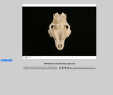 360-degree rotation of a domestic Sheep Upper Jaw